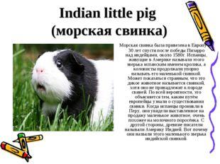 Indian little pig (морская свинка) Морская свинка была привезена в Европу 30