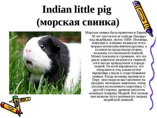 Indian little pig (морская свинка) Морская свинка была привезена в Европу 30...