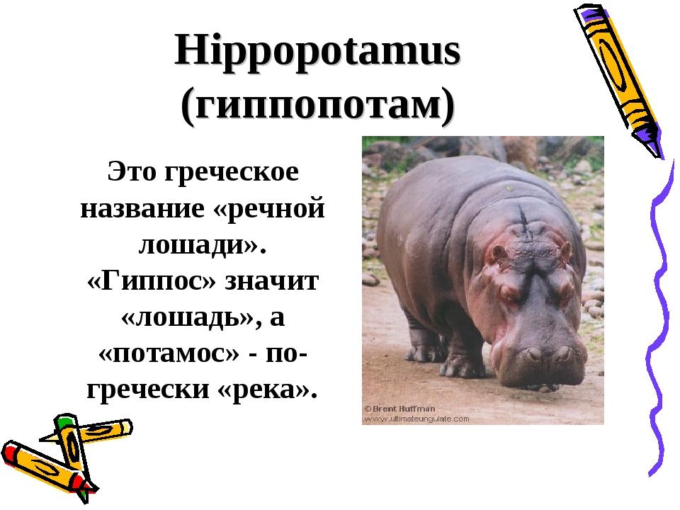Hippopotamus (гиппопотам) Это греческое название «речной лошади». «Гиппос» з...