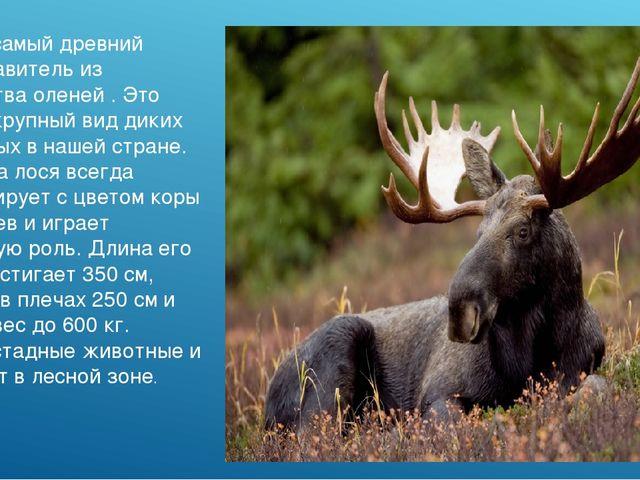 Лось - самый древний представитель из семейства оленей . Это самый крупный ви...