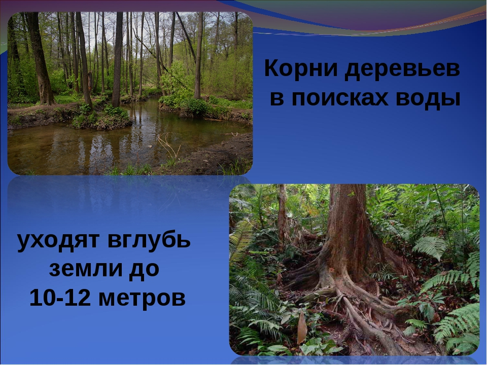 Корни деревьев в поисках воды уходят вглубь земли до 10-12 метров