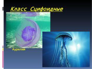Класс Сцифоидные (медузы) Аурелия