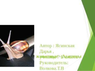 Домашние животные - Ахатины Автор : Ясинская Дарья , ученица 7 Б класса . Ру