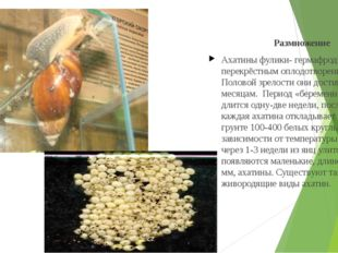 Размножение Ахатины фулики- гермафродиты с перекрёстным оплодотворением. Пол