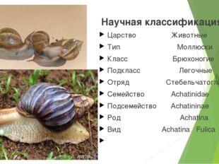 Научная классификация Царство Животные Тип Моллюски Класс Брюхоногие Подклас