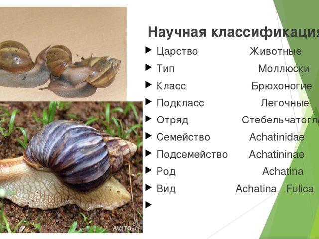 Научная классификация Царство Животные Тип Моллюски Класс Брюхоногие Подклас...