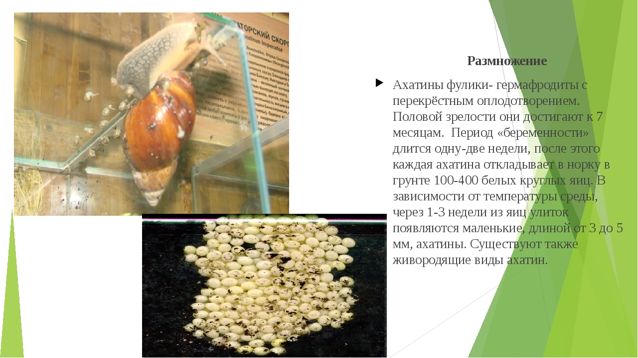 Размножение Ахатины фулики- гермафродиты с перекрёстным оплодотворением. Пол...
