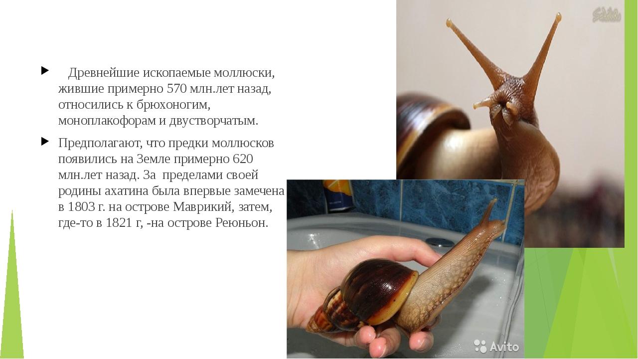 Древнейшие ископаемые моллюски, жившие примерно 570 млн.лет назад, относилис...