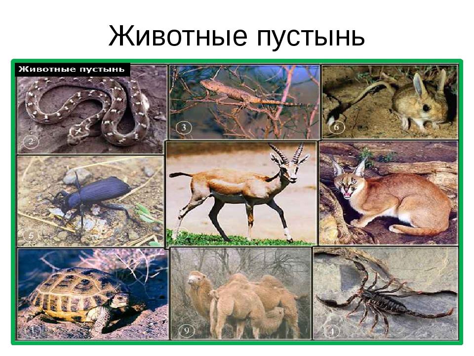 Животные пустынь
