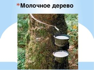 Молочное дерево