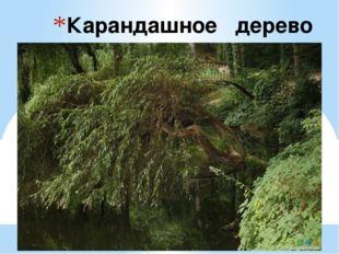 Карандашное дерево