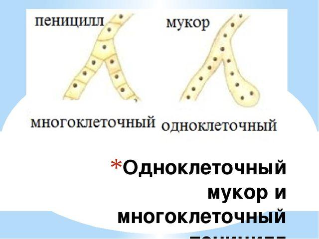 Одноклеточный мукор и многоклеточный пеницилл