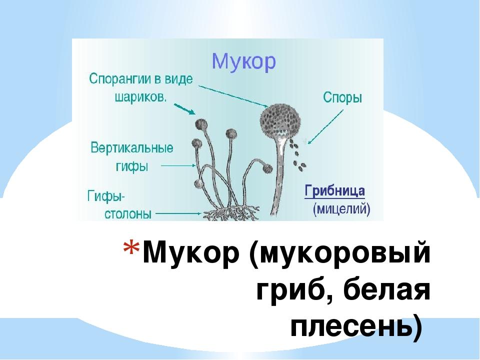 Мукор (мукоровый гриб, белая плесень)