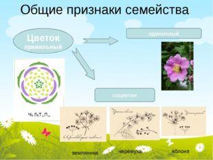Общие признаки семейства Цветок правильный одиночный соцветия земляника черём