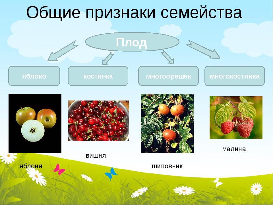 Общие признаки семейства Плод яблоко костянка многоорешек многокостянка малин...
