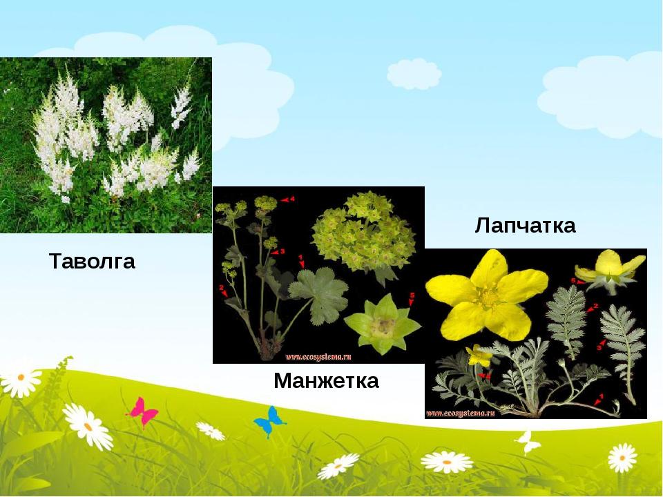 Таволга Манжетка Лапчатка
