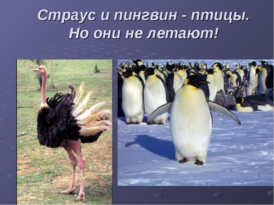 Страус и пингвин - птицы. Но они не летают!