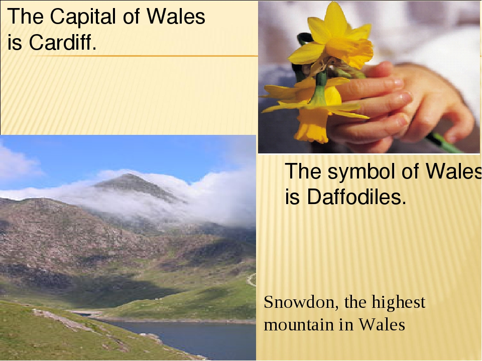 Snowdon, the highest mountain in Wales The symbol of Wales is Daffodiles. The...