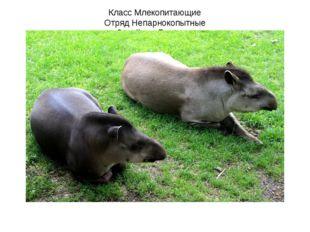 Класс Млекопитающие Отряд Непарнокопытные Семейство Тапиры