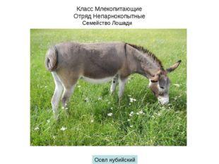 Класс Млекопитающие Отряд Непарнокопытные Семейство Лошади Осел нубийский