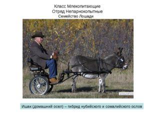 Класс Млекопитающие Отряд Непарнокопытные Семейство Лошади Ишак (домашний осе