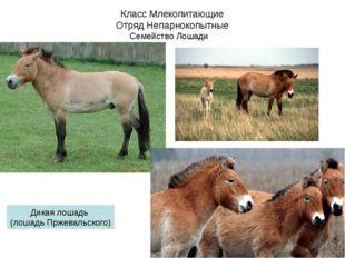 Класс Млекопитающие Отряд Непарнокопытные Семейство Лошади Дикая лошадь (лоша