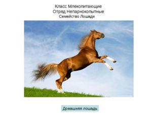Класс Млекопитающие Отряд Непарнокопытные Семейство Лошади Домашняя лошадь