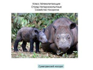 Класс Млекопитающие Отряд Непарнокопытные Семейство Носорогов Суматранский но