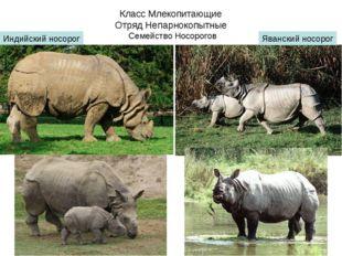 Класс Млекопитающие Отряд Непарнокопытные Семейство Носорогов Индийский носор