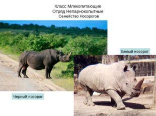Класс Млекопитающие Отряд Непарнокопытные Семейство Носорогов Черный носорог