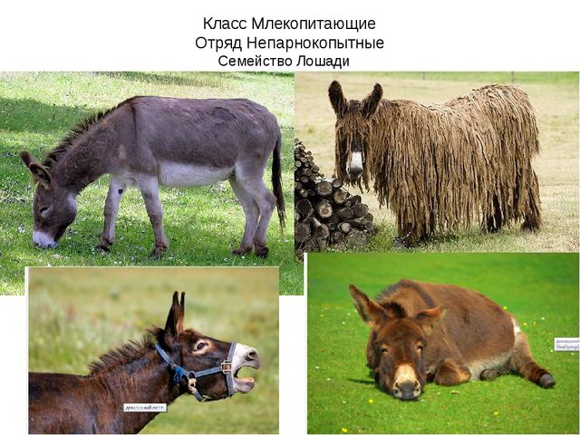 Класс Млекопитающие Отряд Непарнокопытные Семейство Лошади
