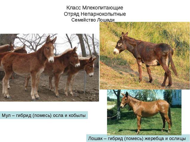 Класс Млекопитающие Отряд Непарнокопытные Семейство Лошади Мул – гибрид (поме...