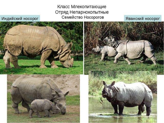 Класс Млекопитающие Отряд Непарнокопытные Семейство Носорогов Индийский носор...