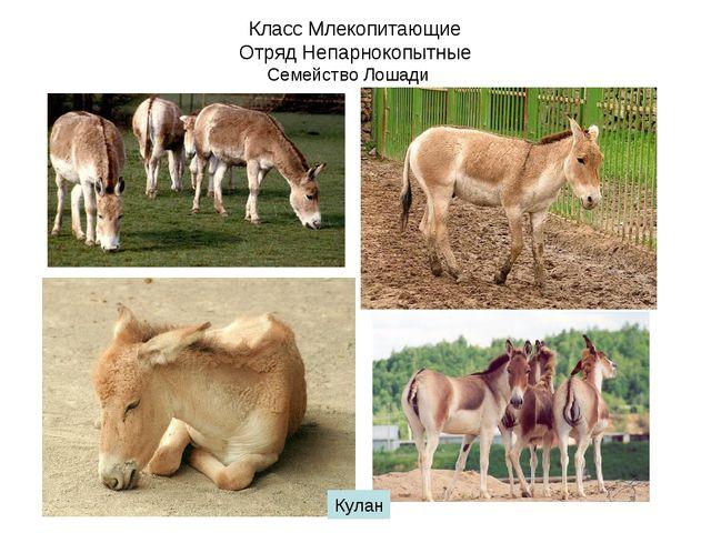 Класс Млекопитающие Отряд Непарнокопытные Семейство Лошади Кулан