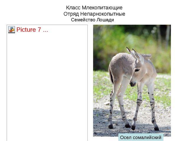 Класс Млекопитающие Отряд Непарнокопытные Семейство Лошади Осел сомалийский