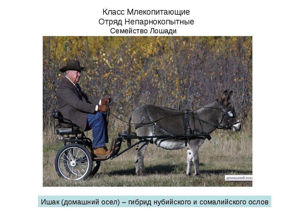 Класс Млекопитающие Отряд Непарнокопытные Семейство Лошади Ишак (домашний осе...
