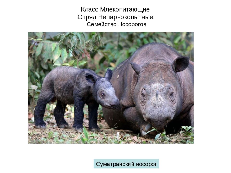 Класс Млекопитающие Отряд Непарнокопытные Семейство Носорогов Суматранский но...