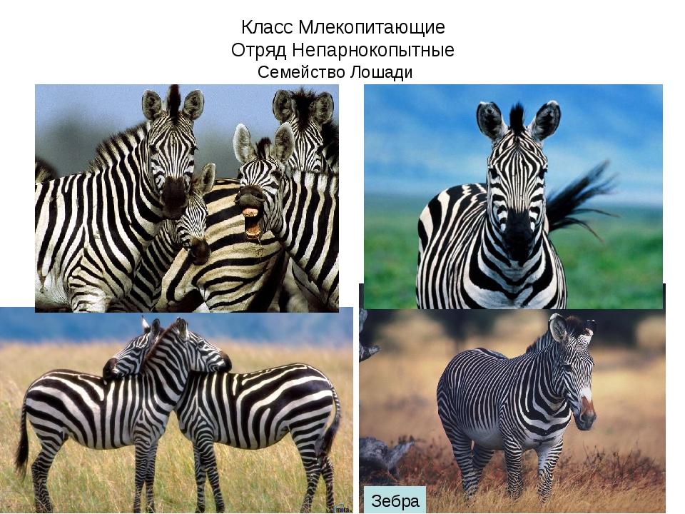 Класс Млекопитающие Отряд Непарнокопытные Семейство Лошади Зебра
