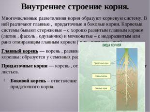 Внутреннее строение корня. Многочисленные разветвления корня образуют корневу