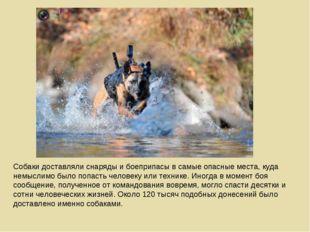 Собаки доставляли снаряды и боеприпасы в самые опасные места, куда немыслимо