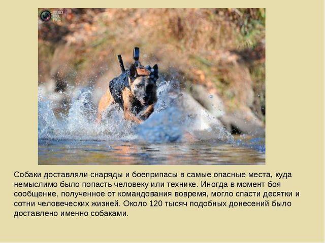 Собаки доставляли снаряды и боеприпасы в самые опасные места, куда немыслимо...