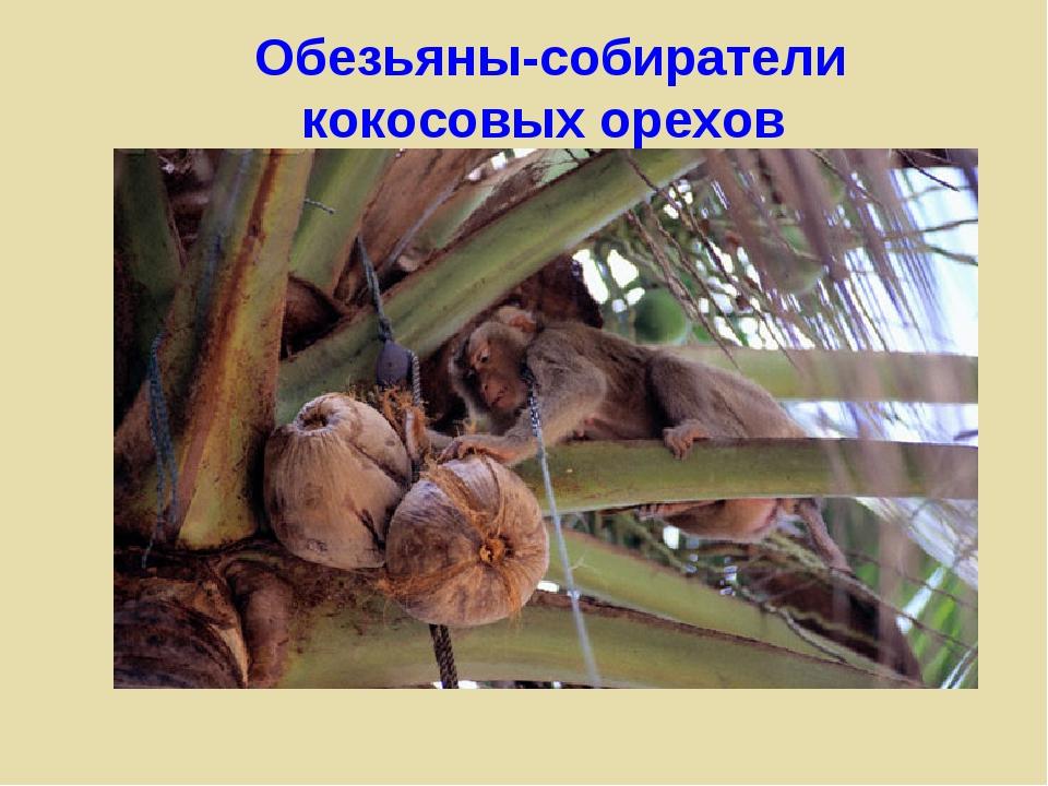 Обезьяны-собиратели кокосовых орехов