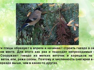 Пару эти птицы образуют в апреле и начинают строить гнездо в скрытом, укромно