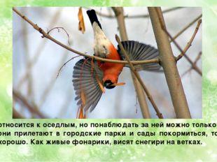 Птица относится к оседлым, но понаблюдать за ней можно только зимой. Часто он