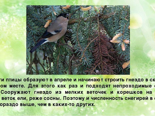 Пару эти птицы образуют в апреле и начинают строить гнездо в скрытом, укромно...