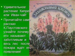 Удивительное растение Кипрей или Иван-чай! Прочитайте сами рассказ К.Паустовс