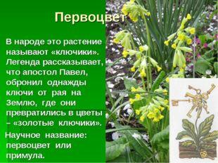 Первоцвет В народе это растение называют «ключики». Легенда рассказывает, что