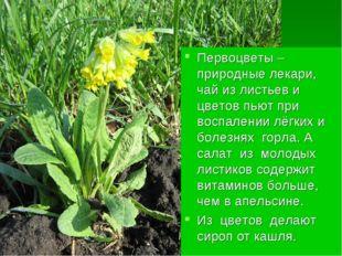 Первоцветы – природные лекари, чай из листьев и цветов пьют при воспалении лё