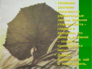 Название растение получило за удивительные листья. Верхняя сторона листа – гл