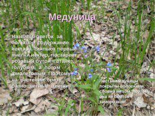 Медуница Назвали цветок за большое содержание нектара. Выпьют первые пчёлки н